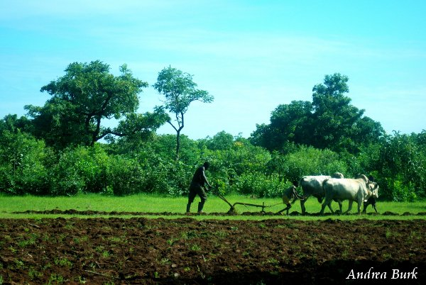 A farmer using oxen to plow.